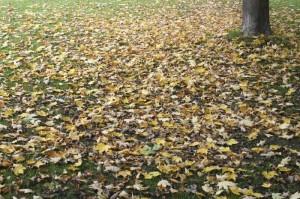 黄色いまま落葉する楓